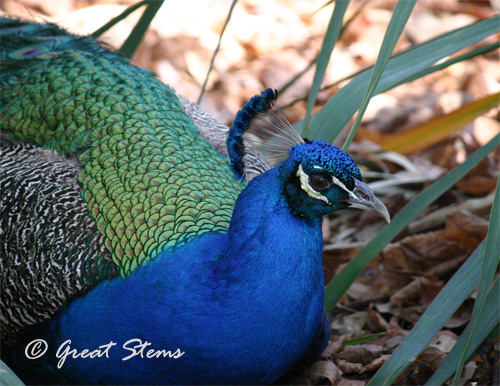 peacockb03-11-11.jpg