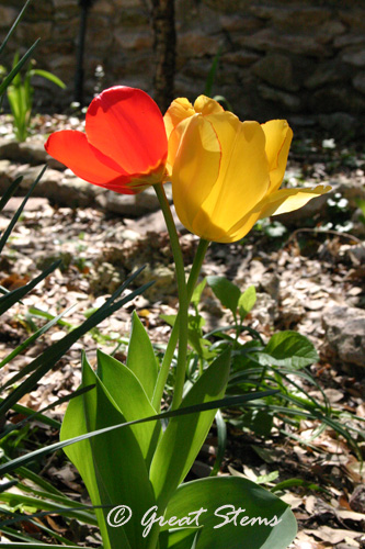 tulips03-11-11.jpg